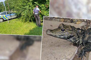Krokodil-Alarm in Tschechien! Großstadt sucht nach entflohenem Reptil