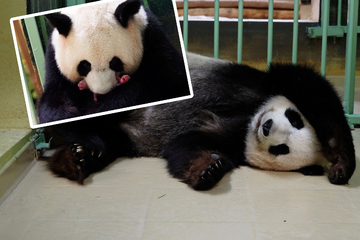 Baby-News im Zoo: Panda-Mama bringt Zwillinge zur Welt!