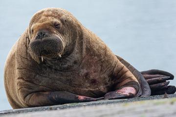 Arktisbewohner auf Insel-Hopping in der Nordsee!