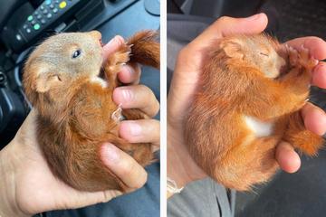 Süßes Eichhörnchen in Lebensgefahr: Polizei-Streife greift beherzt ein