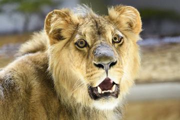 Corona-Tod: Erneut stirbt ein Löwe im Zoo an Covid-19!