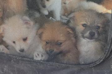 """""""Carga aullando y gimiendo"""": ¡53 perros y gatos bebés liberados de los coches!"""