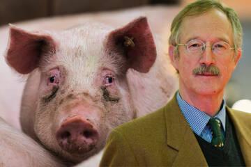 Nach Pestausbruch bei Hausschweinen: Suche nach Übertragungsweg läuft