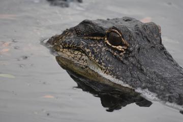 El cocodrilo ataca al hombre mientras nada: cuando interviene su amigo, finalmente se intensifica