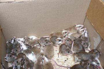 """""""Über-, unter- und aufeinander"""" gekrabbelt: Frau findet Dutzende ausgesetzte Mäuse und Ratten"""