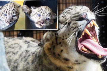 Zoo Leipzig: Klappt Urin-Trick der Tierpfleger bei den süßen Leoparden-Babys?