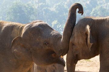 """Von wegen nur """"Törööö"""": Elefanten quietschen mit den Lippen"""