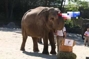 Hamburg: Elefantorakel im Tierpark Hagenbeck: So tippt Yashoda Deutschland gegen Frankreich