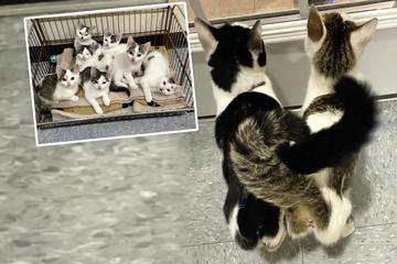 Unzertrennlichen Katzen-Schwestern ziehen acht Babys gemeinsam auf!