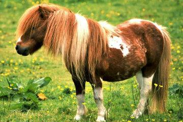 Tierquälerei: Shetland-Pony mit Blick auf unerreichbares Wasser fixiert