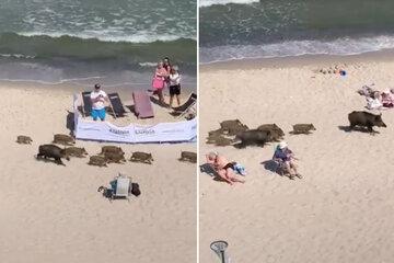 Mitten am Ostsee-Strand: Wildschweine laufen durch Badegäste!