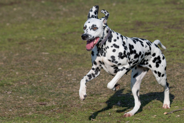 Hundeattacke in München: Dalmatiner beißt Kind (4)