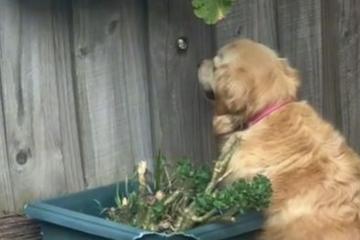 Golden Retriever starrt ständig durch Loch: Was fasziniert ihn denn da so?