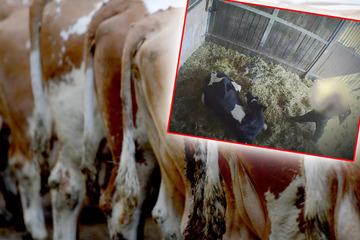 Nach schockierenden Tierquäl-Aufnahmen der ARD: Nun äußert sich das Unternehmen!