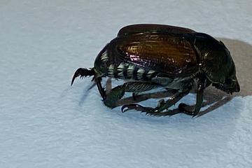 Alarm! Dieser Käfer versetzt Pflanzenschützer im Ländle in Angst und Schrecken