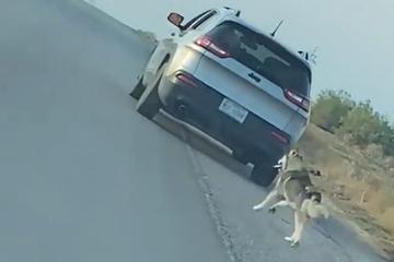 Ausgesetzter Husky läuft verzweifelt Auto hinterher: Doch sein Herrchen hat sich verrechnet!