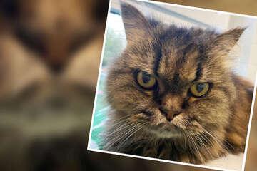 """Diese grimmige Katze macht der """"Grumpy Cat"""" Konkurrenz!"""