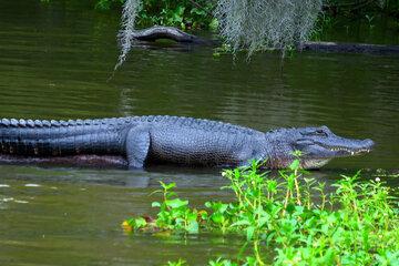 Schockierende Aufnahme: Alligator verfolgt Schwimmer, dessen Reaktion verwundert