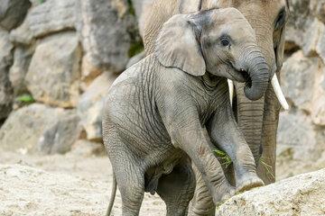 Drama en el zoológico de Viena: el elefante cae repentinamente y muere