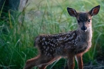 Unfassbar: Tierquäler klebt kleinem Rehkitz das Maul zu!