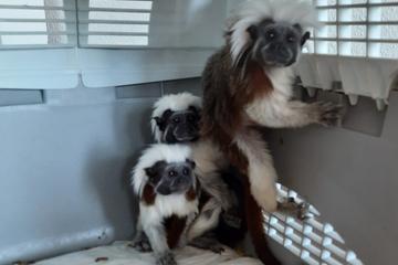 Frau will streng geschützte Affen verkaufen und erlebt eine böse Überraschung