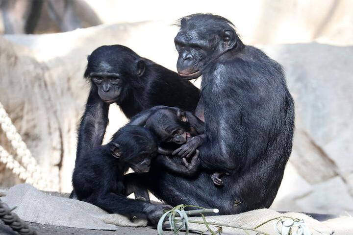 Derweil hat Bonobo-Mutter Lexi alle Hände voll zu tun.