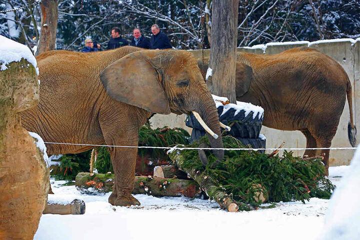 Die Elefanten freuten sich. Am Montag gab es Striezel-Fichte zum  Mittagessen.