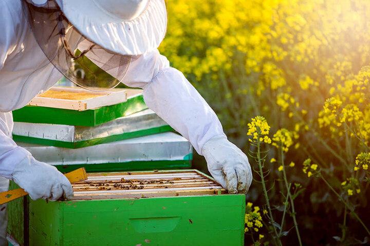 Der Besitzer des Bienenwagens erklärte, dass Bienen bei der Honig-Ernte sehr aggressiv seien. (Symbolbild)