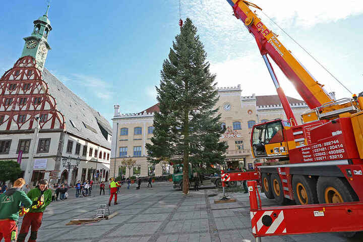 In diesem Jahr kann sich der Zwickauer Weihnachtsbaum sehen lassen!Stolze 25 Meter misst der üppige Nadelbaum.