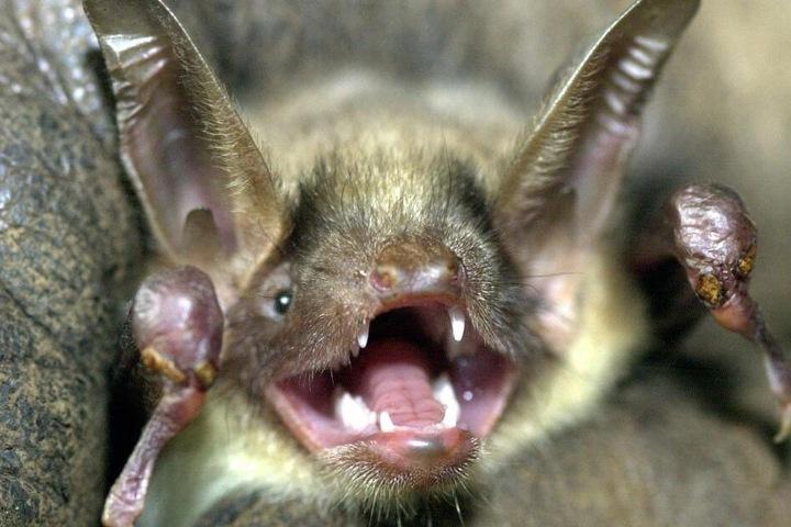 """Eine Fledermaus der Art """"Großes Mausohr"""" hat das Maul weit aufgerissen und die Ohren aufgestellt."""