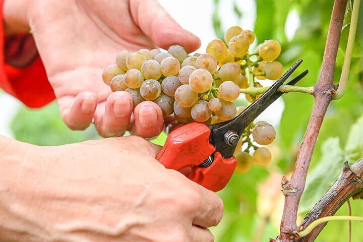 Nur die guten, reifen Solaris-Trauben wandern in die Weinpresse.