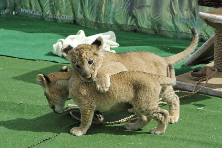 Die beiden kleinen, sechs Wochen alten Löwen tummeln sich im Freigehege.