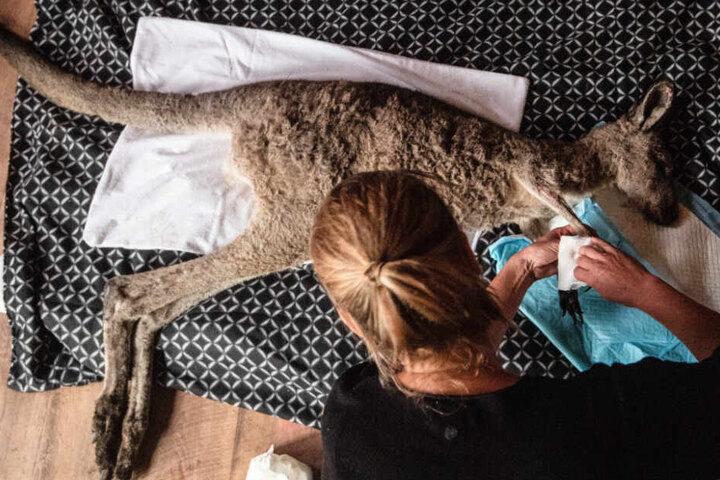 Eine Frau versorgt in Australien ein junges, verletztes Känguru. Sie und ihr Partner hatten eine Zufluchtsstätte für Wildtiere, die sie von ihrem Haus aus betrieben.
