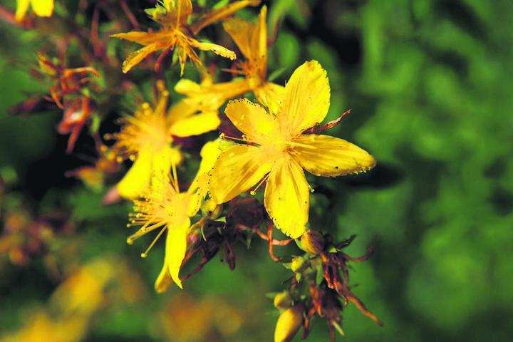 Das gelb blühende Johanniskraut wird häufig bei der Behandlung von psychischen Erkrankungen verwendet.