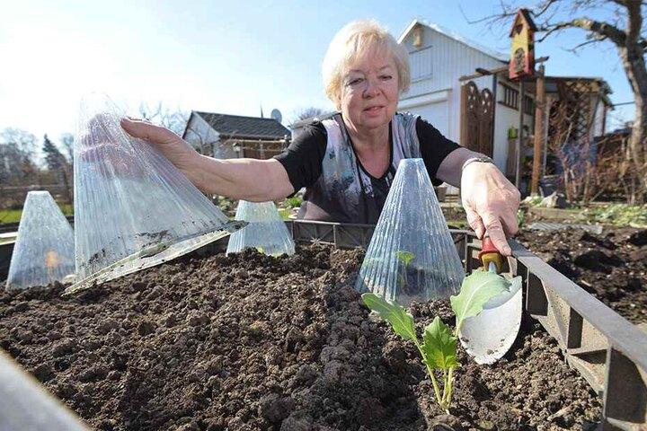 Frühling heißt vor allem Arbeit: Sylveli Püschmann (68) kümmert sich um ein Salat-Frühbeet.
