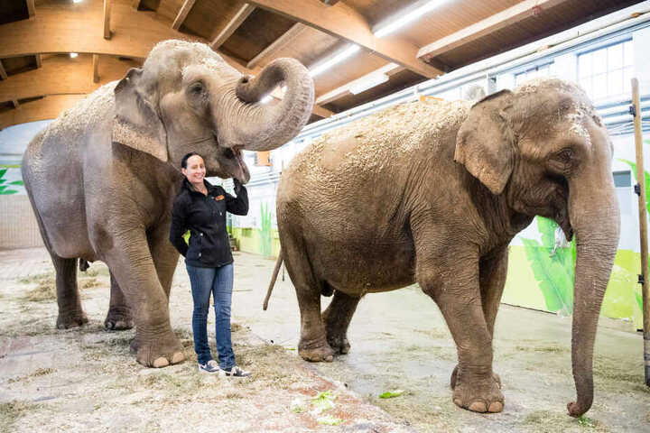 Jana-Mandana Lacey-Krone, Direktorin des Circus Krone, streichelt im Elefantenhaus auf dem Gelände des Circus Krone die indische Elefantenkuh Bara (44 Jahre). Rechts läuft Elefantenkuh Burma (44 Jahre).