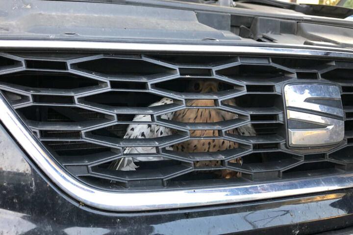 Ein Falke sitzt hinter dem Kühlergrill eines Autos.