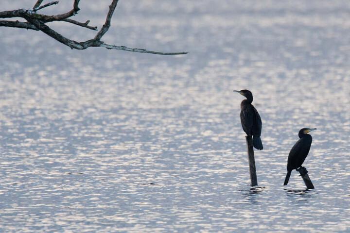 Zwei Kormorane in einem Naturschutzgebiet.