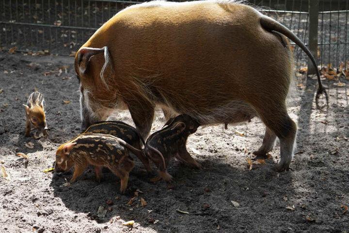 Pinselohrschweine werfen bis zu vier Junge.
