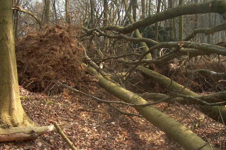 Viele Bäume wurden durch den Orkan entwurzelt.