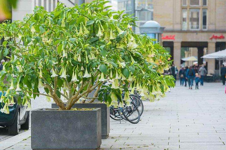 """Die """"Trompeten"""" werden weggeräumt: Die Blumenkübel am Altmarkt müssen für den Striezelmarkt Platz machen."""