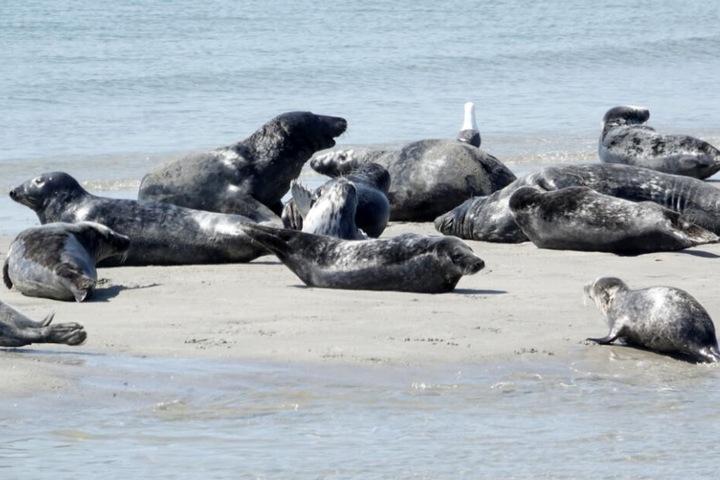 Mehrere Robben liegen am Strand.