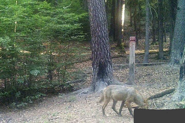 Ob es sich um einen der freigelassenen Wölfe handelt, kann jedoch nicht bestimmt werden.