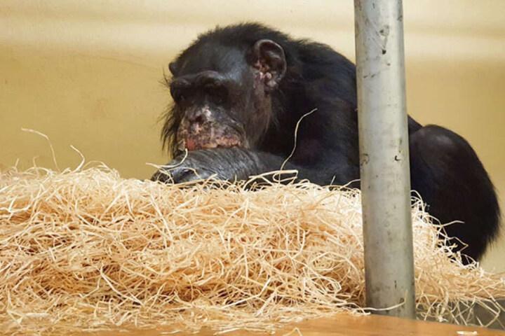 "Schimpanse ""Bally"" nach dem Brand im Krefelder Zoo."