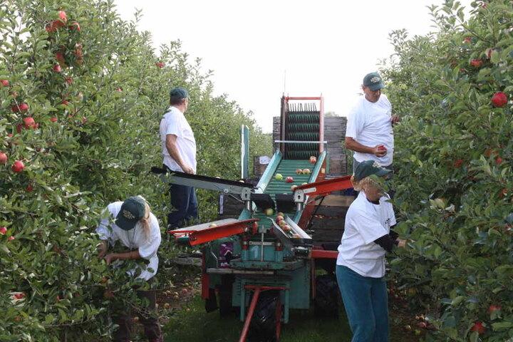 """Sachsenobst: Apfelernte bei der Obstland Dürrweitzschen AG. Am 7. Oktober feiert das Unternehmen in Leisnig seinen """"Apfeltag""""."""