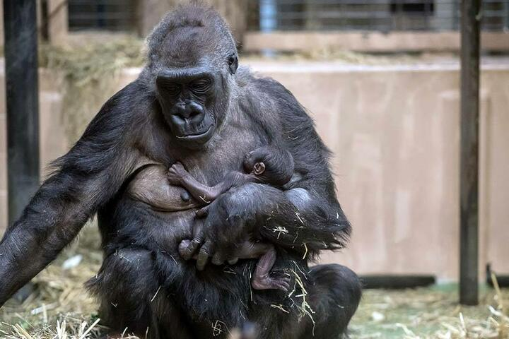 Bisher ist das Gorilla-Baby noch namenlos.