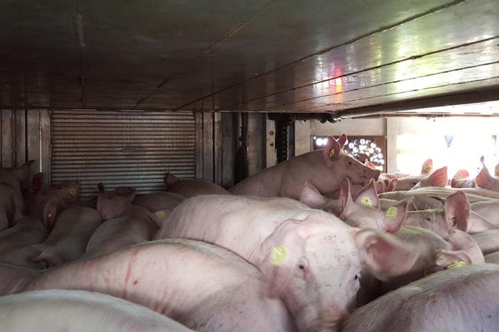 Dieser Transporter hatte 60 Schweine zu viel geladen.