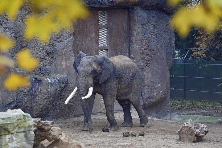 Derzeit liebt er Elefantendame Sawu.