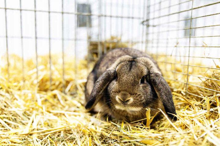 So sehen Richters gezüchtete Kaninchen aus.