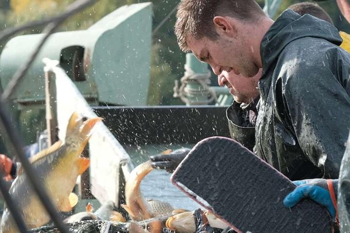 Fischer beim Sortieren ihres Fanges: Bio-Karpfen aus der Oberlausitz wachsen in einem Zeitraum von 3 Jahren zum fertigen Speisefisch heran.